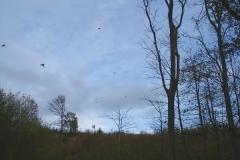 11-driven_pheasant_02