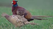 Cock Pheasant Head